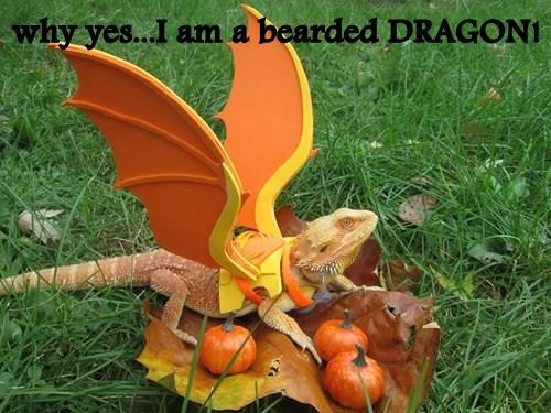 why yes...I am a bearded DRAGON!