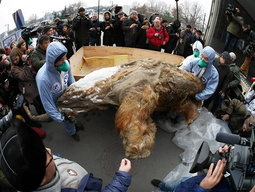 A Nearly 40,000 Year Old Baby Mammoth Goes on Display in Moscow