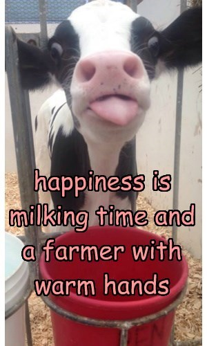 happiness is milking time and a farmer with warm hands