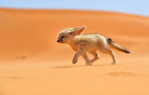 fennec fox cute squinting baby animal