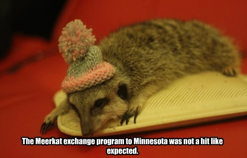 The Meerkat exchange program to Minnesota was not a hit like expected.