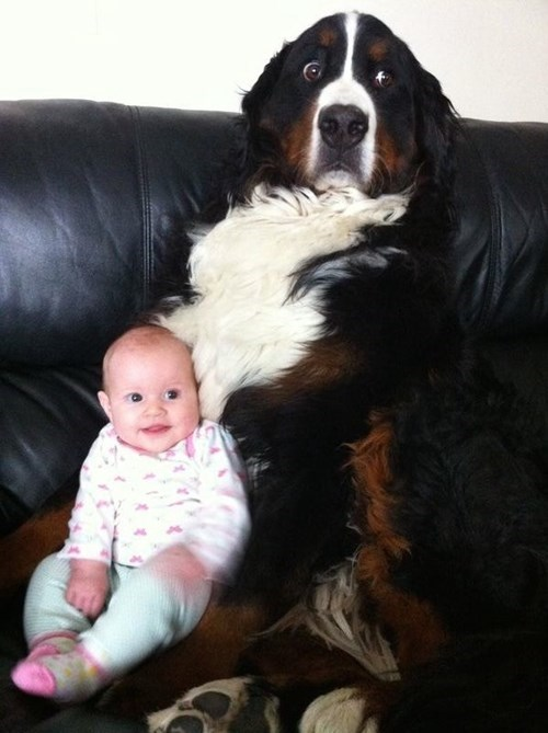 dogs,baby,st bernard,expression,parenting