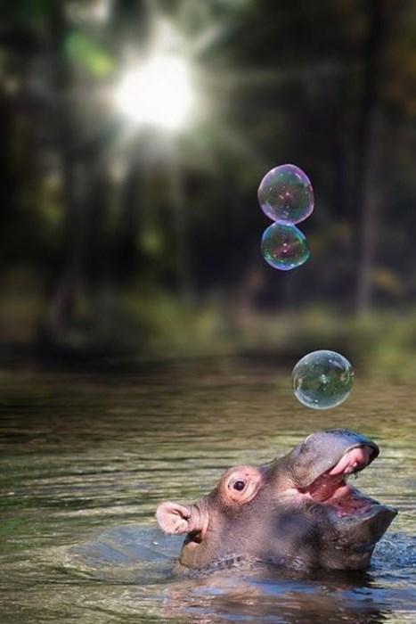 cute,bubbles,hippo