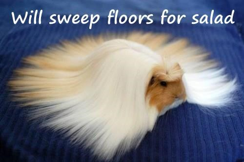 hair,roomba,guinea pig,noms