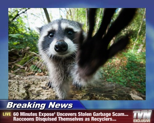 Breaking News - 60 Minutes Expose' Uncovers Stolen Garbage Scam... Raccoons Disquised Themselves as Recyclers...