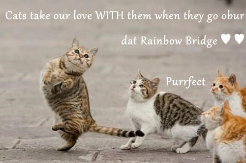 Cats take our love WITH them when they go obur dat Rainbow Bridge ♥ ♥                                          Purrfect
