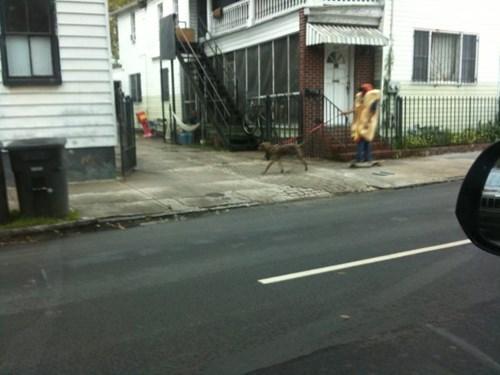 Just a Hot Dog Walking a Dog