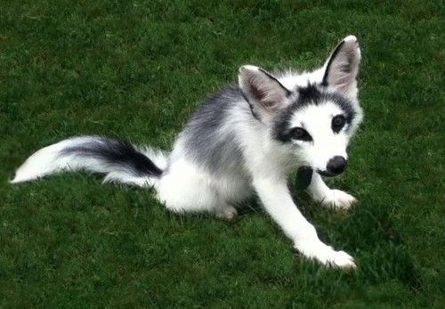 The Canadian Marble Fox