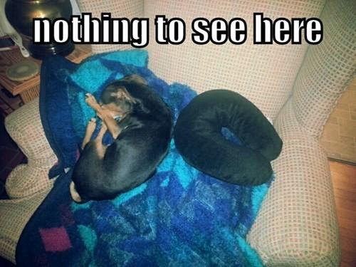 Pillow,dogs,dachshund