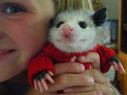 poorly dressed,possum,sweater,christmas sweaters