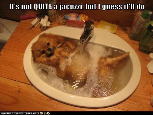 pomeranian,dogs,jacuzzi,spoiled