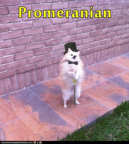 pomeranian,dogs,bowtie,sir
