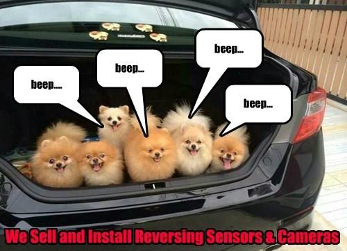 pomeranian,dogs,trunk,car