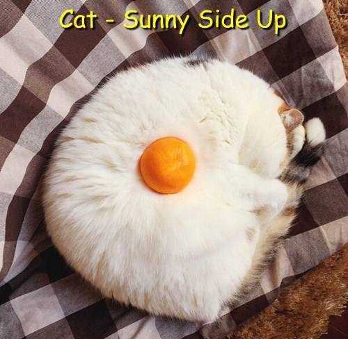 Cat - Sunny Side Up