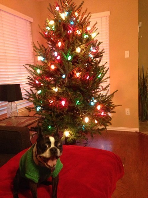 christmas,dogs,caption contest,boston terrier