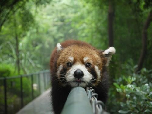 red panda,panda,fence,cute