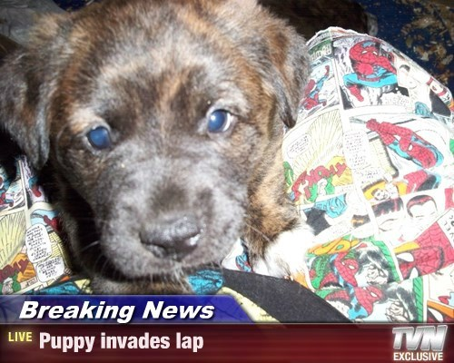 Breaking News - Puppy invades lap
