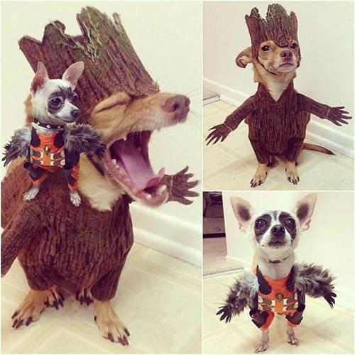 dogs,cosplay,rocket raccoon,groot