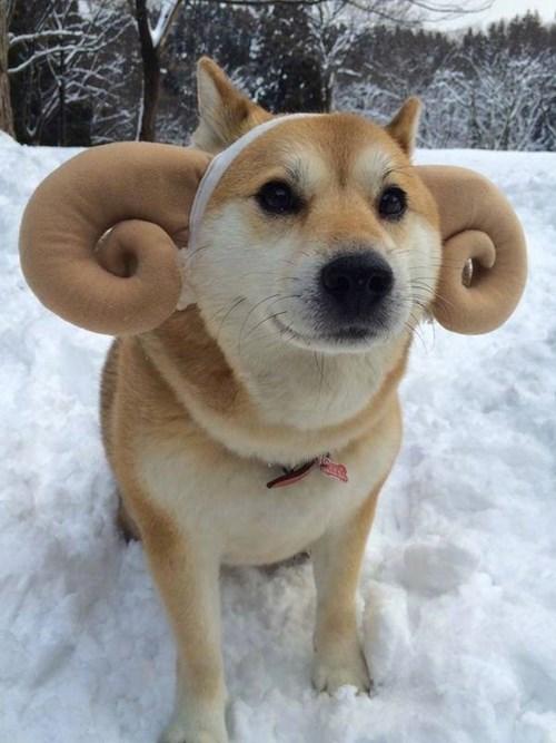 dogs,doge,horns,shiba inu