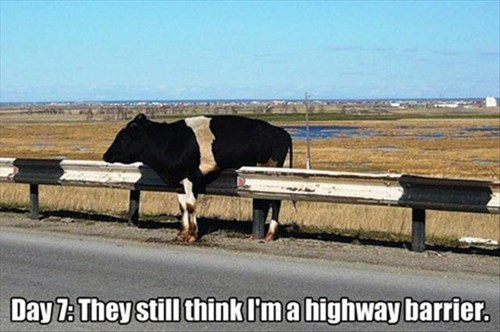 cow,stuck,camouflage