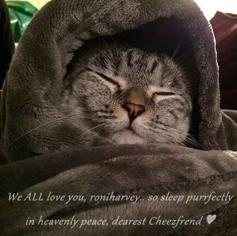 We ALL love you, roniharvey.. so sleep purrfectly in heavenly peace, dearest Cheezfrend ♥