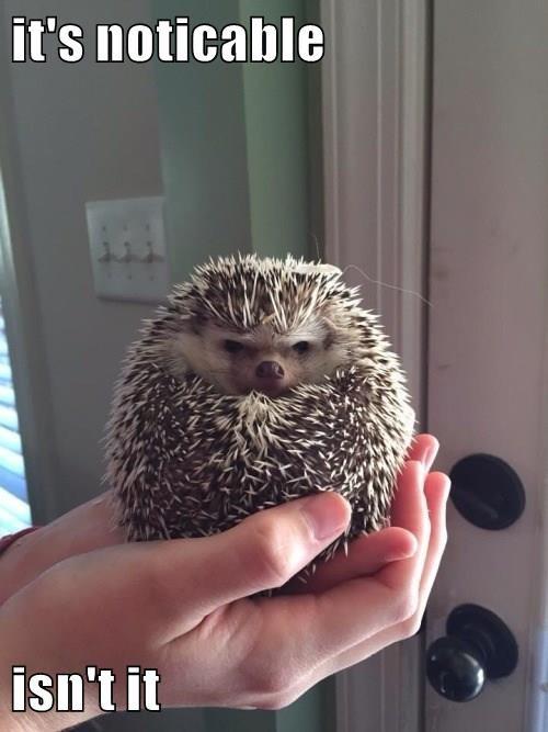 quills,hedgehog,balding