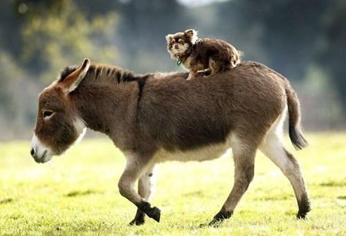 Doggy riding donkey