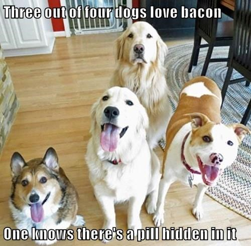 Three out of four dogs love bacon  One knows there's a pill hidden in it