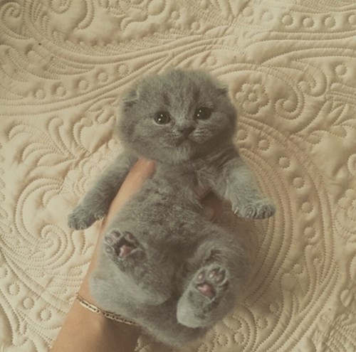 cute baby animals purfect grey kitten