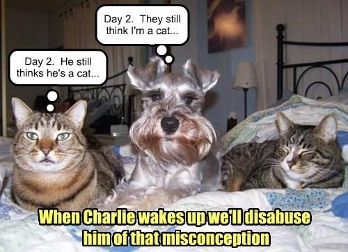 dogs,schnauzer,no idea,Cats