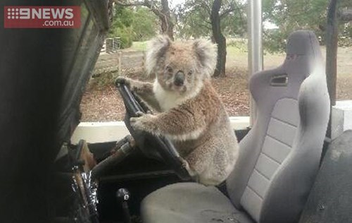 drive,koala,caption,marsupial,thief