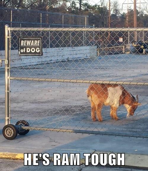 HE'S RAM TOUGH