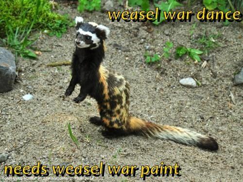 weasel war dance  needs weasel war paint