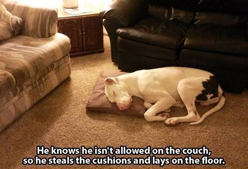 dogs,persistence,couch,naps