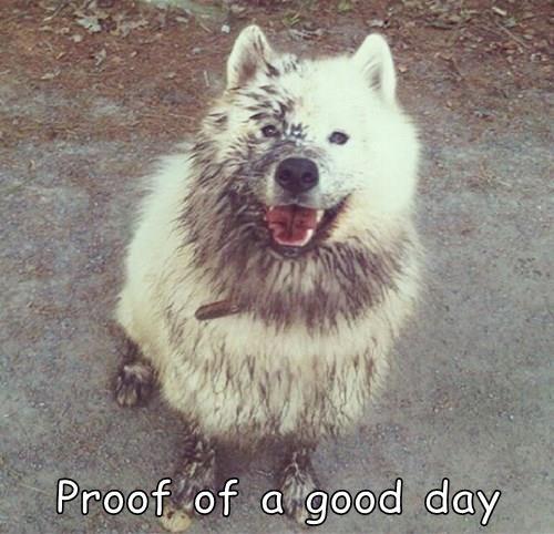 dogs,samoyed,FRIDAY,good day