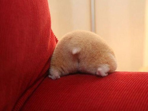 Hamster Butts Are Cutest Butts