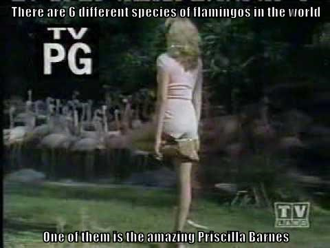 There are 6 different species of flamingos in the world  One of them is the amazing Priscilla Barnes