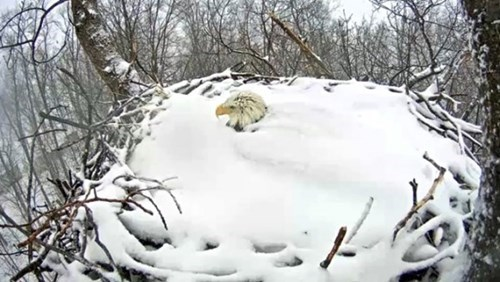 funny animal photo eagle keeps nest warm after heavy snow