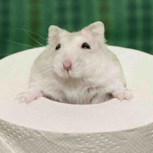 toilet paper,cute,mouse