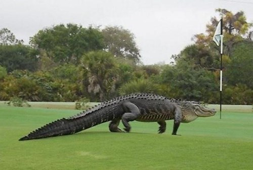 Jurassic Park is in Florida, if This Huge Roaming Gator is Any Indication
