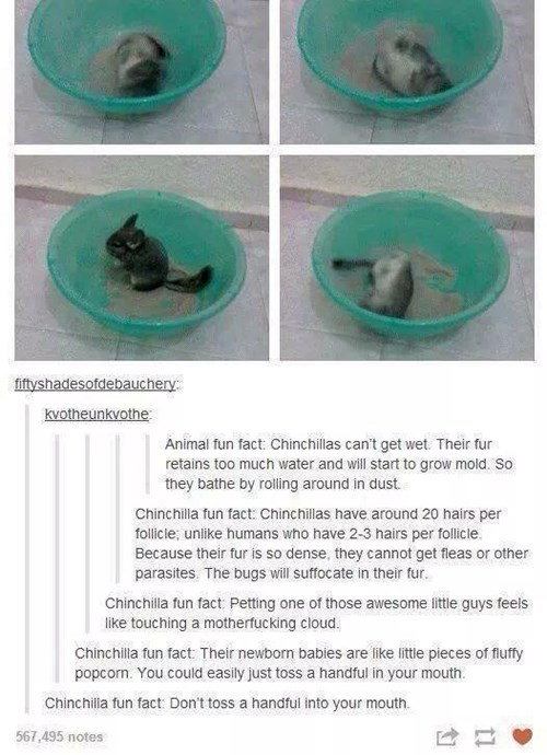 Adorably Great Chinchilla Facts From Tumblr