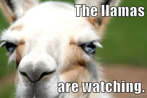 The llamas  are watching.