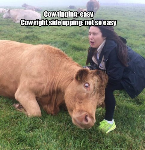 heavy,cow,bad idea,tipping,true story,lift