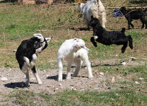 baby animals,goats,squee,derp,playing