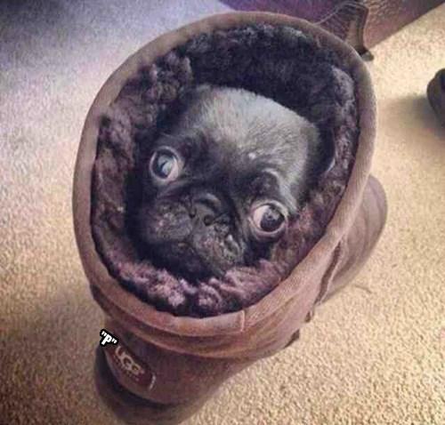 Snug as a pug inna Ugg