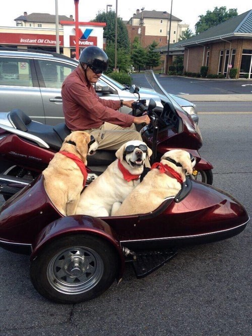 yellow labs on motorcycle funny dog pics