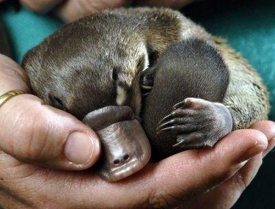 Platypus Tale Makes a Good Platypus Teddy Bear