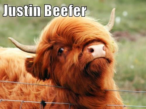 cow,puns