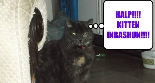 HALP!!!! KITTEN INBASHUN!!!!