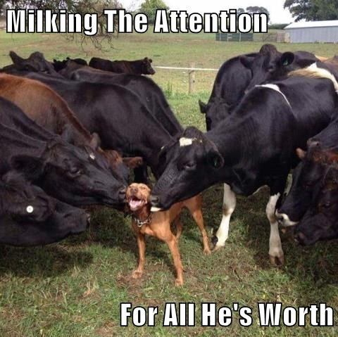 Milking The Attention  For All He's Worth